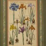 Botanical Floral Prints, Varidarium Reformatum, 1719